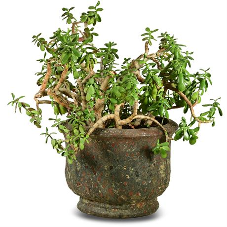 Live Potted Jade