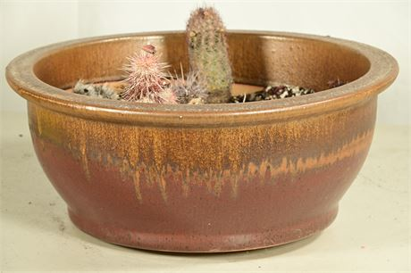 Live Potted Cacti