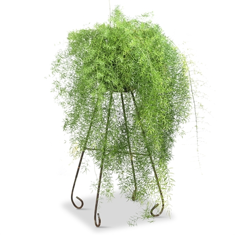 Live Potted Asparagus Fern in Iron Stand