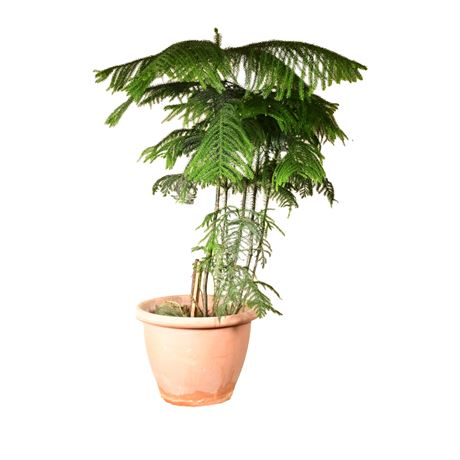 Live Potted Norfolk Island Pine
