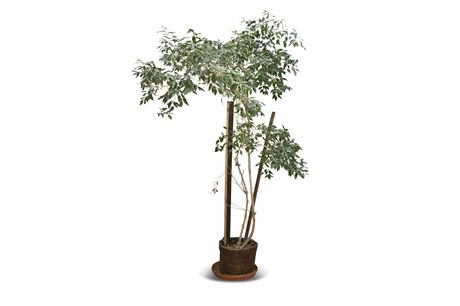 Live Potted Ficus