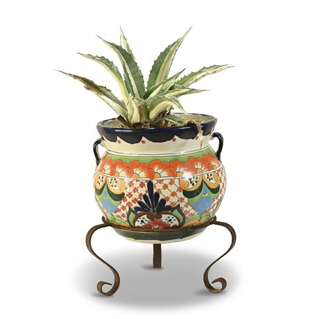 Live Potted Century Plant