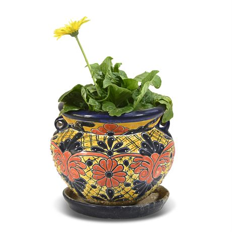 Live Potted Barberton Daisy
